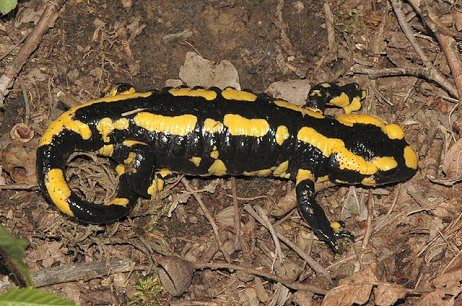 S. salamandra (© Chris Steeman)